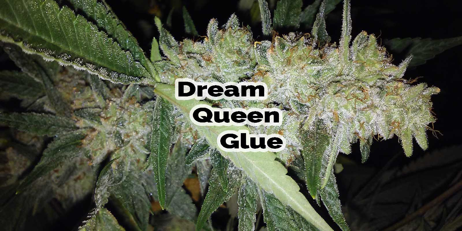 Dream Queen Glue Grown Indoors