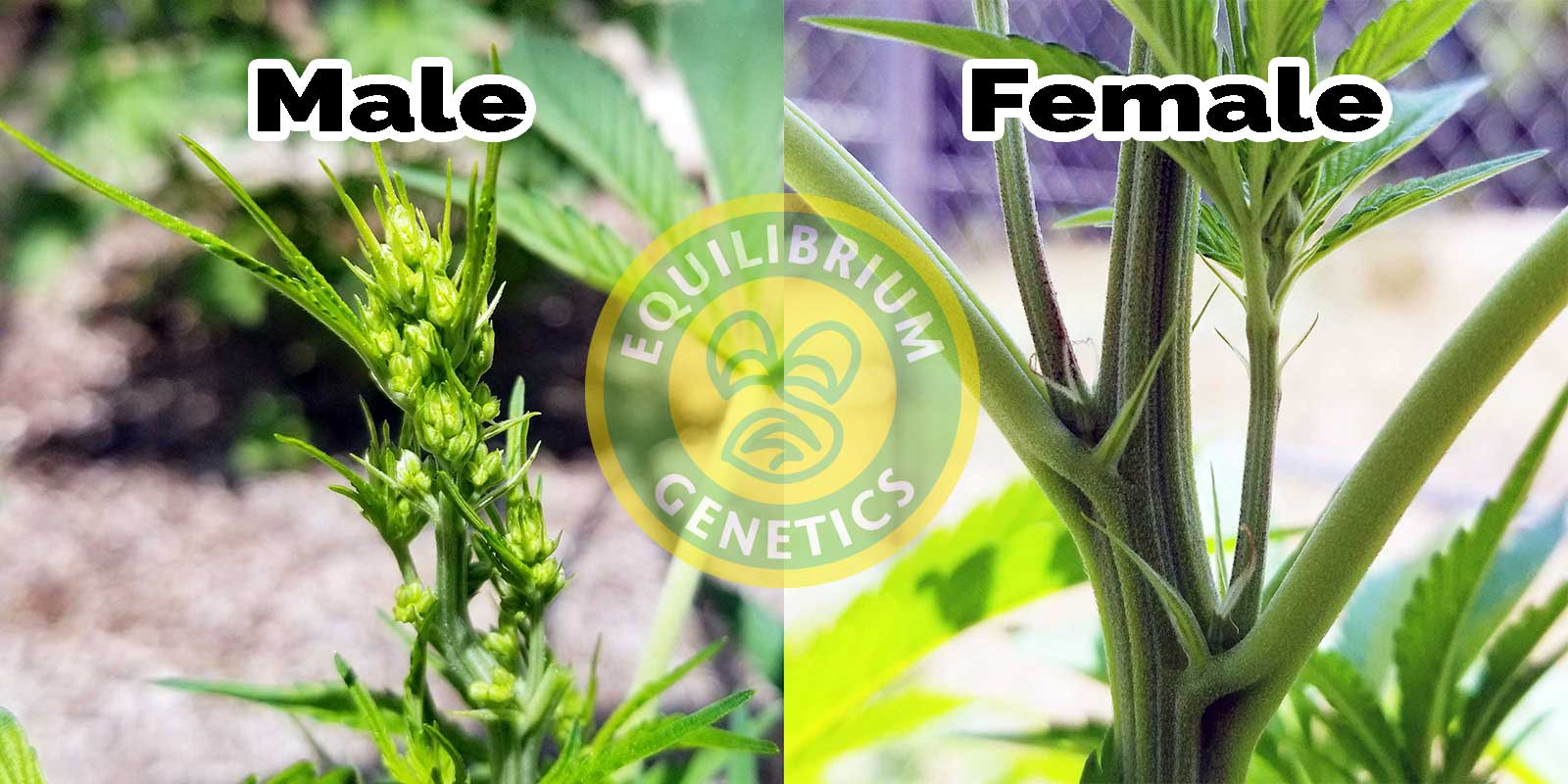 Identify Male And Female Cannabis Plants  Equilibrium -3621