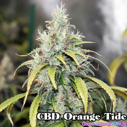 CBD Orange Tide