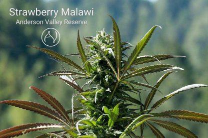 Equanimity (aka Strawberry Malawi)